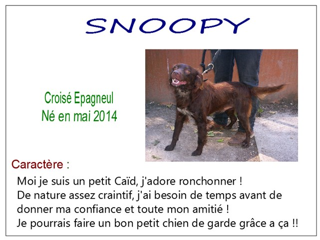 SNOOPY - x epagneul 4 ans - SBPA à Marmagne (18) Snoopy