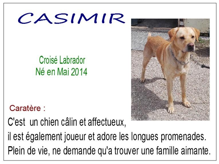 CASIMIR - x labrador 4 ans - SBPA à Marmagne (18) Casimir